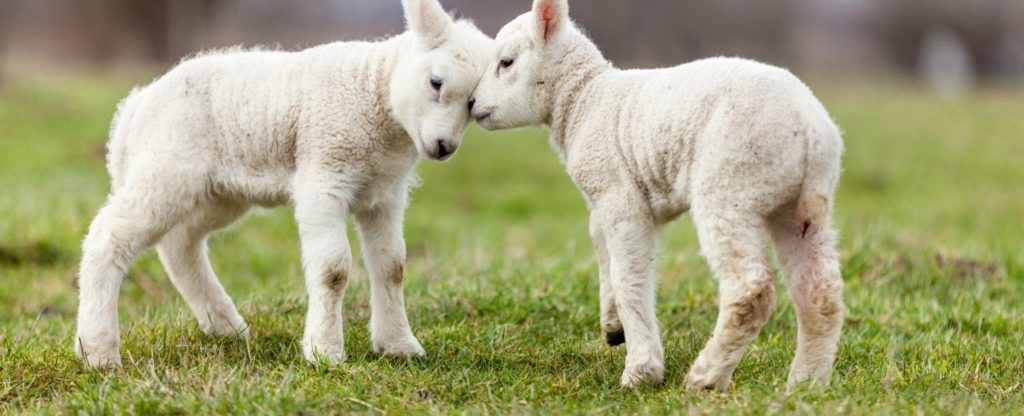 lambs-headbutting
