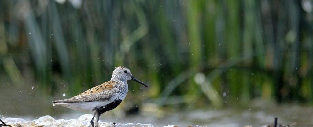 Bird-marsh