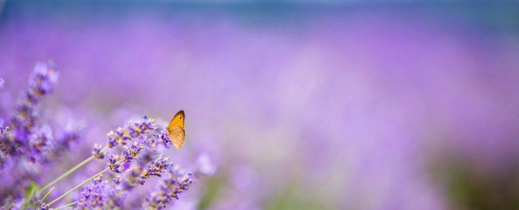 Blue-Mountain-Lavender-Farm