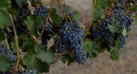 Wine Grapes at Cameo Heights Mansion